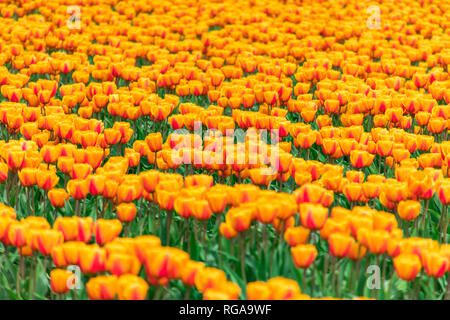 USA, Washington State, Skagit Valley, tulip field - Stock Photo