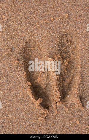 European roe deer (Capreolus capreolus) close-up of footprint / tracks in wet sand - Stock Photo