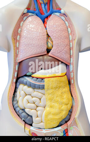 Anatomy model of the internal organs of the human body for use in medical education, isolated on white background. - Stock Photo