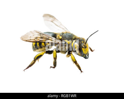 Megachile Species Leafcutter Bee Insect Isolated on White - Stock Photo