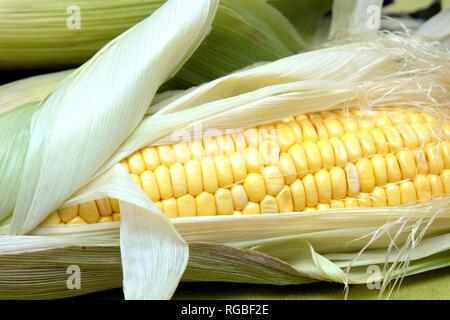 Ripe raw corn on the cob over green tablecloth horizontal view closeup - Stock Photo