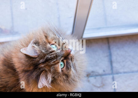 Adorable siberian cat of livestock in relax outdoor, looking up - Stock Photo
