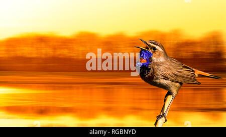 Bluethroat singing spring song at sunrise - Stock Photo