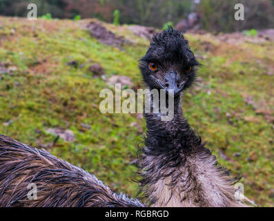 Face of a emu in closeup, Elegant and funny looking bird from Australia - Stock Photo