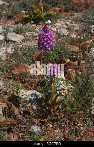 Pyramidal Orchid (Anacamptis pyramidalis) in the garrigue of the Il-Majjistral Nature and History Park on the island of Malta. - Stock Photo
