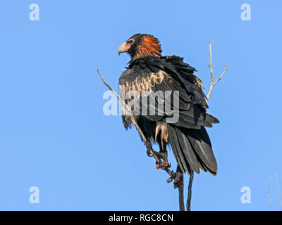 a black breasted buzzard in australia's northern territory preens its feathers - Stock Photo