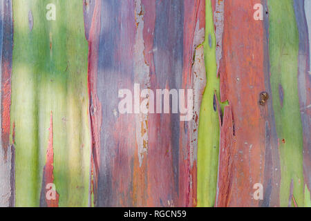 Beautiful trunk of rainbow gum at Los Angeles, California - Stock Photo