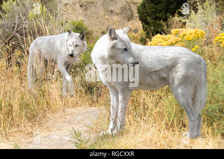 Two gray wolves in a field