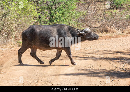 A Cape Buffalo bull crossing a dirt track in Southern African savanna - Stock Photo