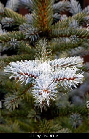 43,467.03854 Frosty, lightly frosted, green needles & branches on winter spruce tree (Picea species, Pinaceae), dark green background, vertical - Stock Photo