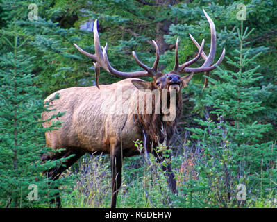 38,618.01045 experienced huge old elk bull (Cervus canadensis) in rut posture ready & willing to fight to protect his herd from adult male intruders - Stock Photo