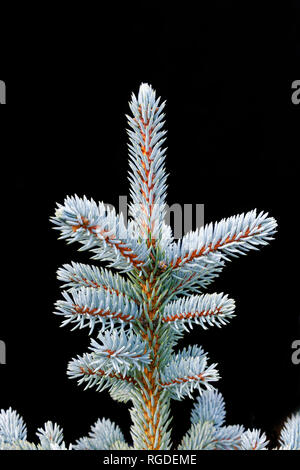 43,467.03836 Frosty, lightly frosted, green needles & branches on winter spruce tree (Picea species, Pinaceae), black background, Vertical - Stock Photo