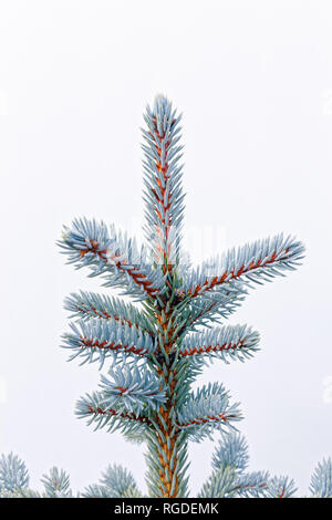 43,467.03837 Frosty, lightly frosted, green needles & branches on winter spruce tree (Picea species, Pinaceae), white background, Vertical - Stock Photo