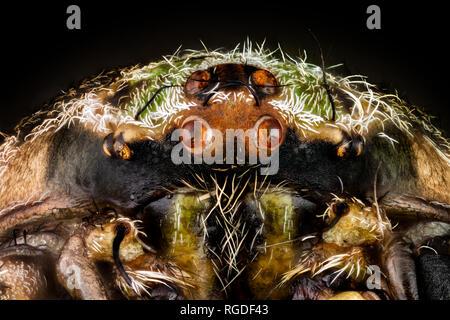 Portrait of a orbweaver spider - Stock Photo
