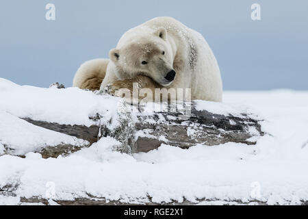 Polar bear, northern arctic predator. Polar bear in natural habitat. - Stock Photo