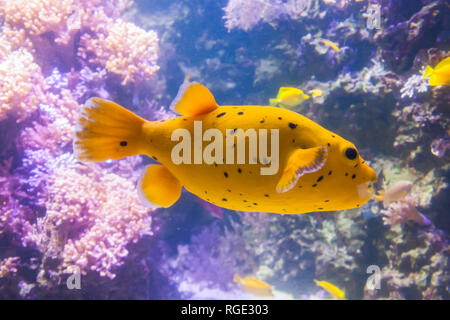 Yellow Blackspotted Puffer Or Dog-faced Puffer Fish - Arothron Nigropunctatus. Wonderful and beautiful underwater world with corals and tropical fish. - Stock Photo