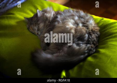 A Siberian female cat is sleeping on a green blanket. - Stock Photo