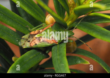 Juniper Shieldbug (Cyphostethus tristriatus) overwintering in Irish yew tree leaves. Cahir,Tipperary, Ireland - Stock Photo