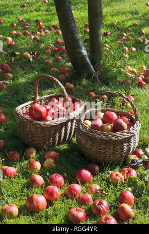 Windfall apples apples lying in grass below tree in garden orchard.  Tom Putt, a Heritage, dual purpose variety. - Stock Photo