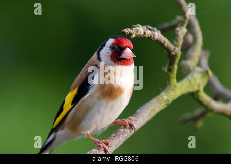 Portrait of a European goldfinch (carduelis carduelis) perching on a branch - Stock Photo