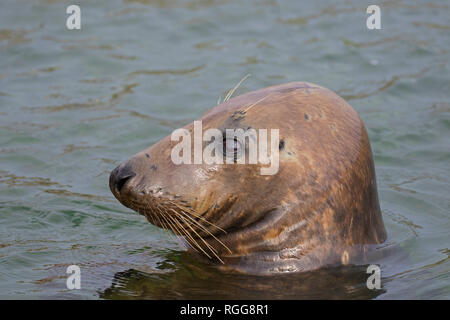 Grey seal / gray seal (Halichoerus grypus) swimming in sea. Close-up of head showing large whiskers - Stock Photo