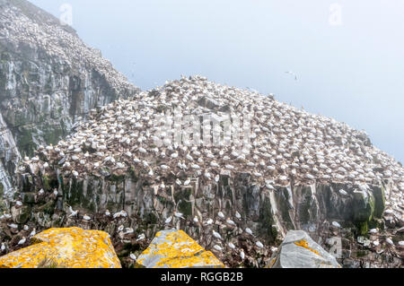 Northern gannets, Morus bassanus, nesting on Bird Rock at the Cape St. Mary's Ecological Reserve breeding colony in Newfoundland, Canada. - Stock Photo