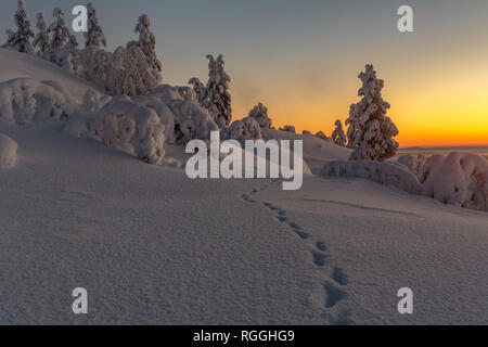 Winter landscape in direct light at sunset with nice color in the sky and snowy trees, animal tracks in foreground, Gällivare county, Swedish Lapland, - Stock Photo