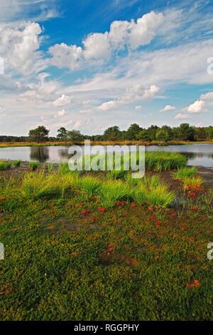 Moor landscape, pond with sedimentation zone, swingrass from peat moss (Sphagnum), Sundew (Drosera) and White beak-sedge - Stock Photo