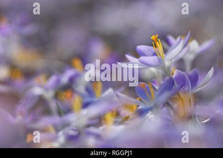Purple Crocuses (Crocus), flower carpet, Saxony-Anhalt, Germany - Stock Photo