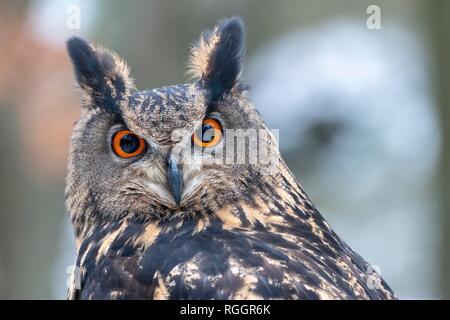Eurasian eagle-owl (Bubo bubo), animal portrait, captive, Czech Republic