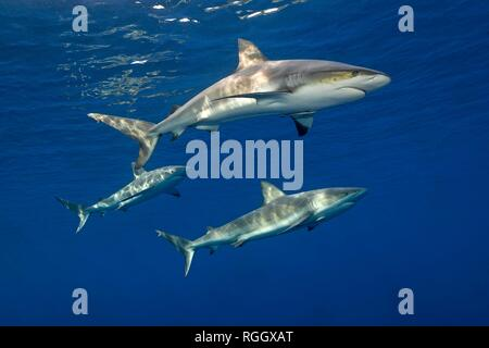Three Caribbean Reef Sharks (Carcharhinus perezi) in blue water, Jardines de la Reina, Cuba - Stock Photo