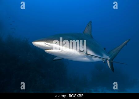 Caribbean Reef Shark (Carcharhinus perezi) patrolling the coral reef, Jardines de la Reina, Cuba - Stock Photo