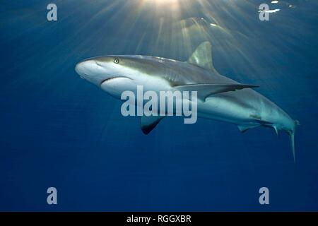 Caribbean Reef Shark (Carcharhinus perezi) in blue water, Jardines de la Reina, Cuba - Stock Photo