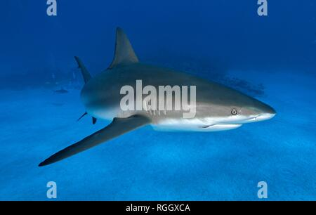 Caribbean Reef Shark (Carcharhinus perezi) swims in blue water, Grand Bahama, Bahamas - Stock Photo