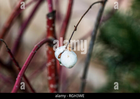 The fruit of a common snowberry (Symphoricarpos albus) - Stock Photo