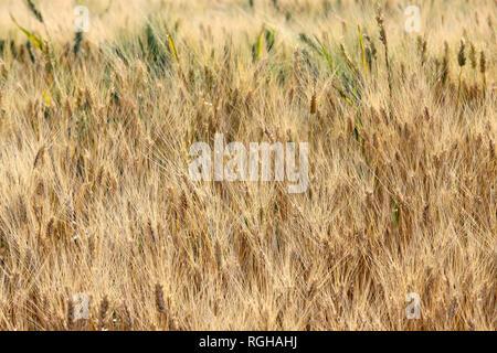 Ripe cornfield in summer, Tuscany, Italy - Stock Photo