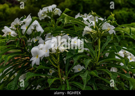 very close view white plumeria trees  with white  Flowery looking awesome in a garden. - Stock Photo