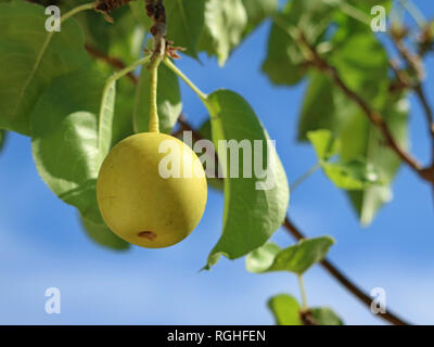 Asian pear Nashi, Pyrus pyrifolia, one pear on tree with leaves and blue sky - Stock Photo