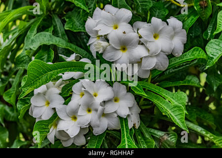 plumeria white flowery in the tree with water drops looking awesome after rain fell. - Stock Photo