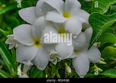 very close view of plumeria white flowery in the tree with water drops looking awesome after rain fell. - Stock Photo