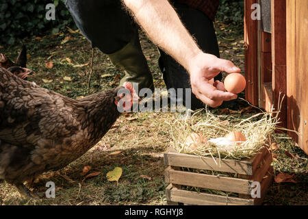 Free-range chicken, hand holding hen's egg - Stock Photo