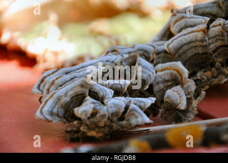 Closeup of fresh Trametes Versicolor (turkey tail) mushroom, showing grey-black-white-orange concentric lines and a hairy texture, on a red table - Stock Photo