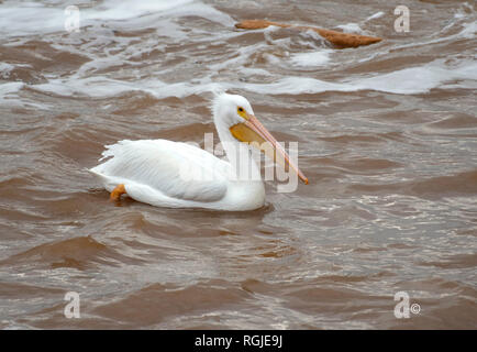 A pelican, Pelecanus erythrorhynchos, on the Red River in Elm Grove, La., U.S.A. - Stock Photo