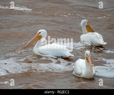 Three pelicans, Pelecanus erythrorhynchos, on the Red River in Elm Grove, La., U.S.A. - Stock Photo
