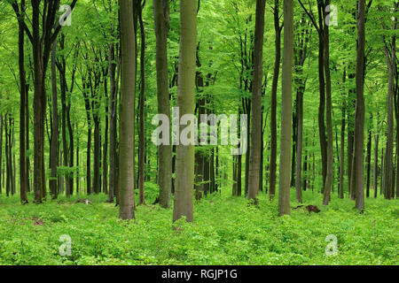 Vital green forest in spring. Westerwald, Rhineland-Palatinate, Germany