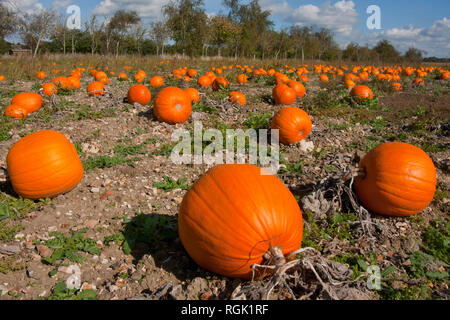 mature pumpkins (Cucurbita pepo) ready for harvest growing in Hampshire, England - Stock Photo