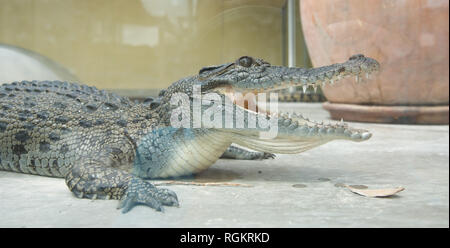 Darwin, Northern Territory, Australia-October 15,2017: Juvenile crocodile at Crocosaurus Cove in Darwin, Australia - Stock Photo