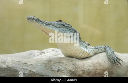 Darwin, Northern Territory, Australia-October 15,2017: Juvenile saltwater crocodile resting on log at Crocosaurus Cove in Darwin, Australia - Stock Photo