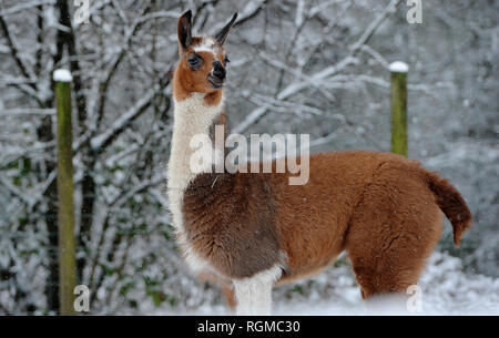 Bolton, Lancashire, UK. 30th January, 2019. Snowy conditions for some of the recent arrivals at Smithills Open Farm in Bolton, Lancashire. New additions to the farm including Meerkats, a Donkey, a Llama and an Alpaca got their first taste of snow as they took their first steps into the winter weather. A young Llama out in the snow covered fields. Picture by Paul Heyes, Wednesday January 30, 2019. Credit: Paul Heyes/Alamy Live News - Stock Photo