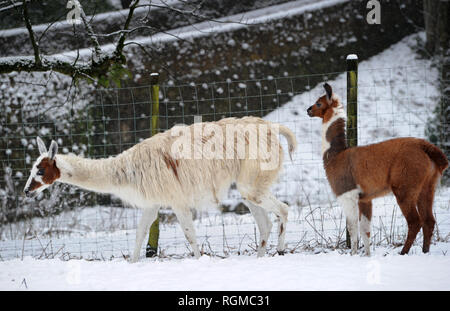 Bolton, Lancashire, UK. 30th January, 2019. Snowy conditions for some of the recent arrivals at Smithills Open Farm in Bolton, Lancashire. New additions to the farm including Meerkats, a Donkey, a Llama and an Alpaca got their first taste of snow as they took their first steps into the winter weather. Llama Mango with her as yet unnamed baby Cria. Picture by Paul Heyes, Wednesday January 30, 2019. Credit: Paul Heyes/Alamy Live News - Stock Photo